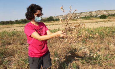 Red Arax presenta las primeras conclusiones sobre el cultivo del garbanzo en Aragón
