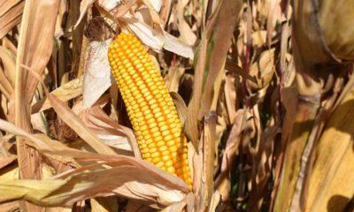 El maíz se consolida como cultivo de referencia en el regadío aragonés